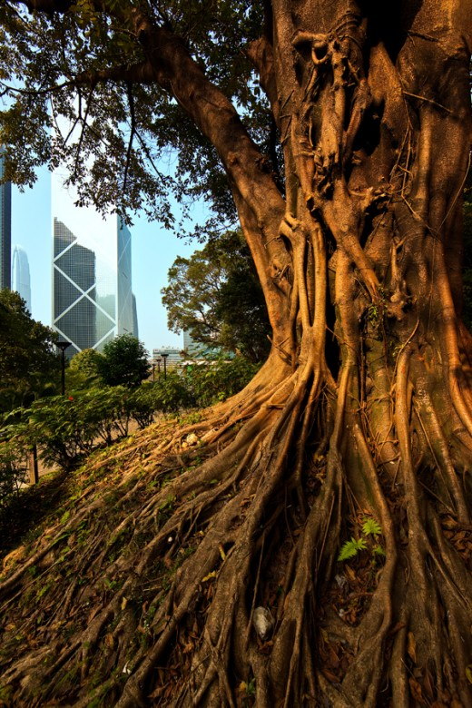 The strong root of Ficus microcarpa tree become a symbolic icon of China Bank in Hong Kong Park